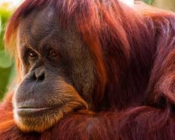Orangutans threatened by girl scout cookies
